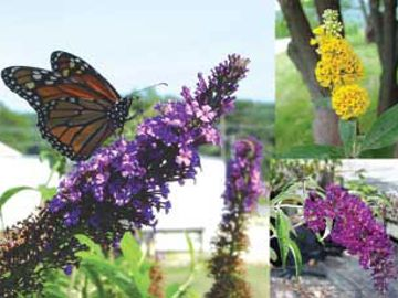 Butterfly Garden Assortment