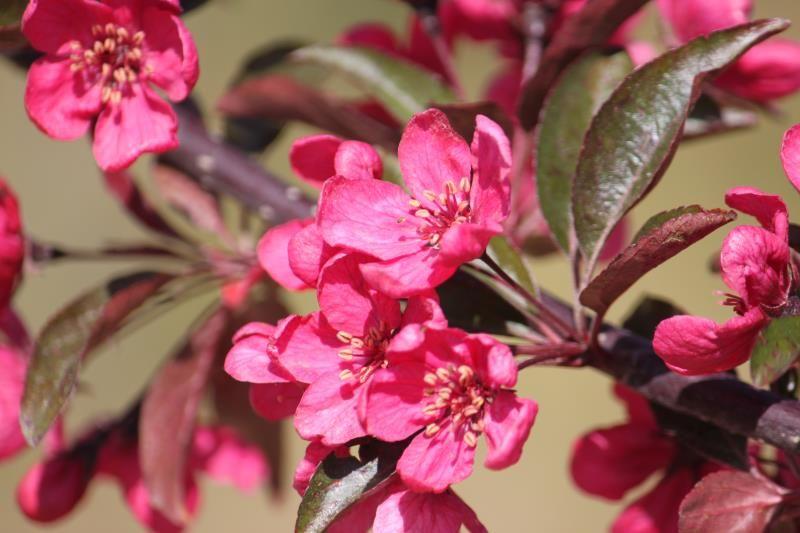 Prairifire Flowering Crabapple Flowering Trees Stark Bros