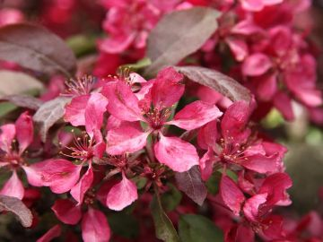 Photo of Profusion Flowering Crabapple