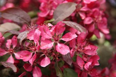 Profusion Flowering Crabapple