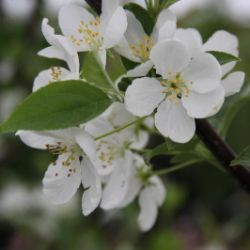 Snowdrift Flowering Crabapple
