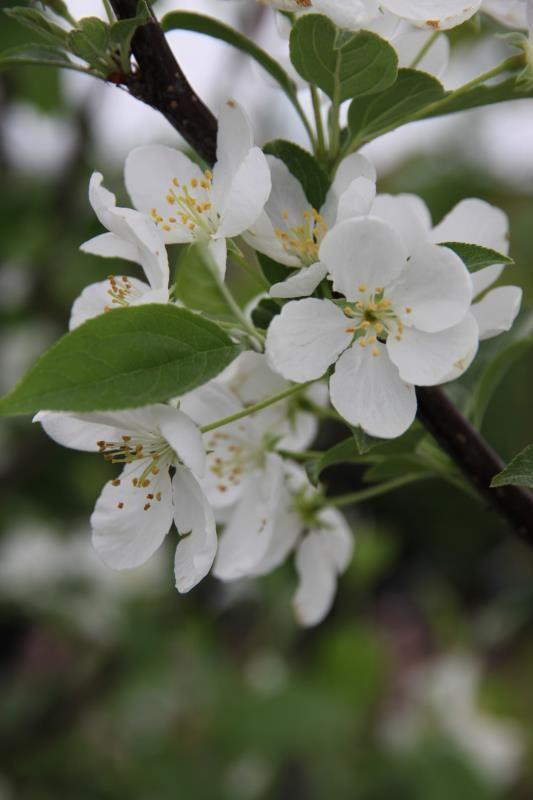 Snowdrift Flowering Crabapple Flowering Trees Stark Bros