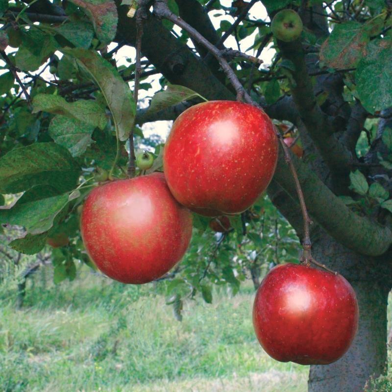 Stark 174 Ruby Darling Apple Apple Trees Stark Bro S