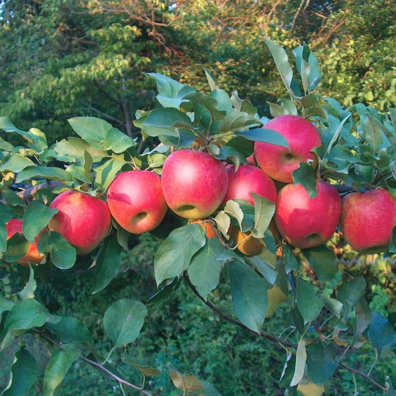 Apple Trees For Sale - Buy Apple Trees From Stark Bro's