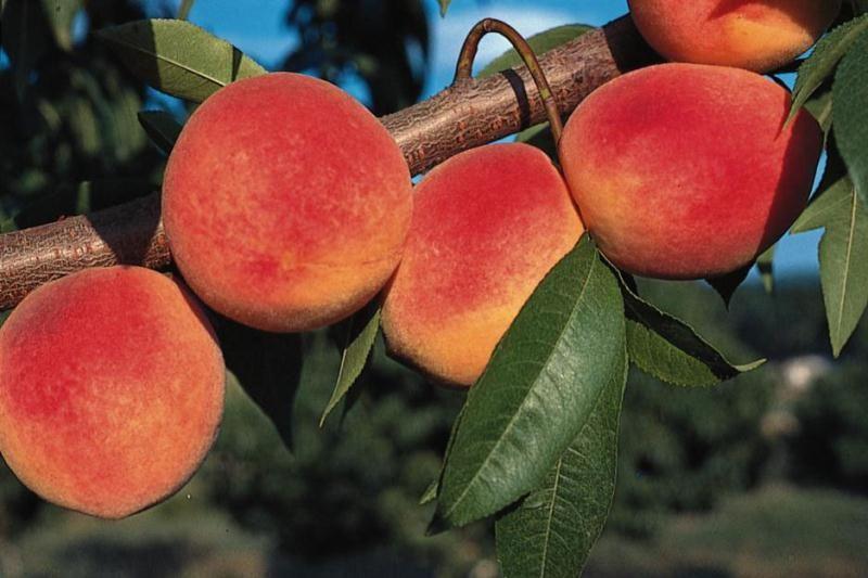 Redhaven peach peach trees stark bro 39 s for The peach tree