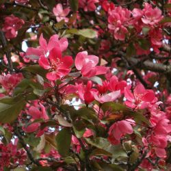 Adams Flowering Crabapple