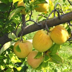 Photo of Starkspur® Golden Delicious Apple