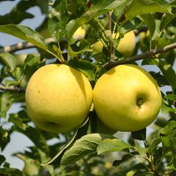 Stark® Golden Delicious Apple