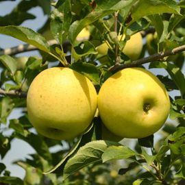 Photo of Stark® Golden Delicious Apple
