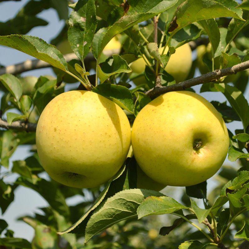 Image result for yellow delicious apple