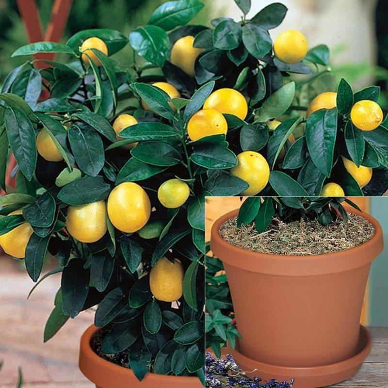 Meyer Lemon Potted Kit Citrus Trees