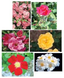 Complete Rose Assortment