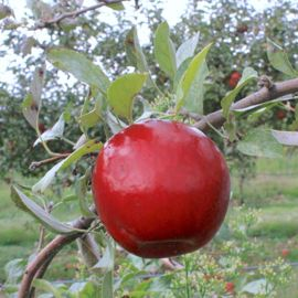 Stark® Red Romance® Apple