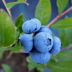 Sunshine Blue Blueberry