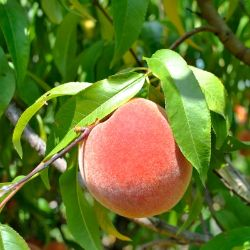 Photo of Burbank™ July Elberta Peach