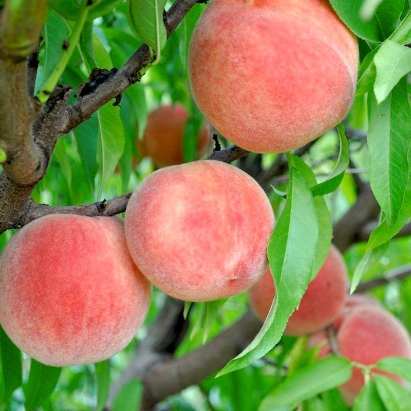 Carolina belle peach peach trees stark bro 39 s for The peach tree