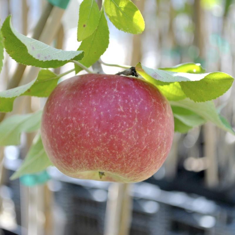 средства картинки сорта яблок джонатан церемонии суждено было