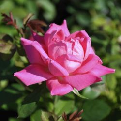 Photo of Pink Double Knock Out® Rose