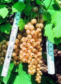 White Pearl Currant