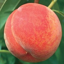 Photo of GaLa Peach