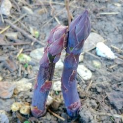 Photo of Purple Passion Asparagus