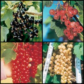 Photo of Colorful Currant Assortment