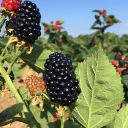 Photo of Stark® Black Gem® Blackberry