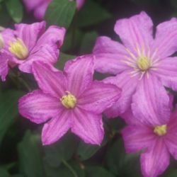 Photo of Comtesse de Bouchaud Clematis