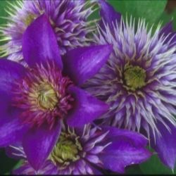 Photo of Multi-Blue Clematis