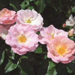 Photo of Peachy Knock Out® Rose