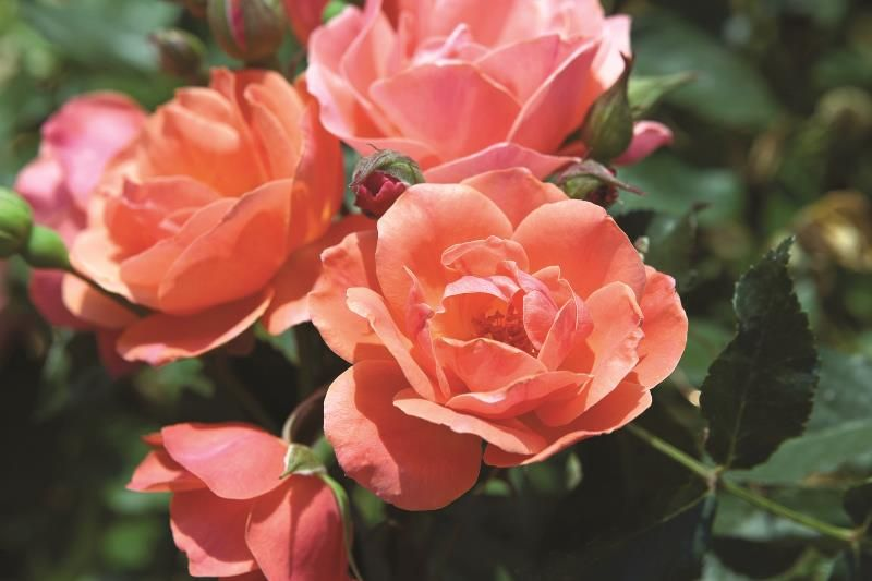 Coral Knock Out 174 Rose Roses Stark Bro S