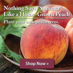 Plant your own peach trees.