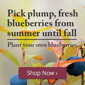 Plant your own blueberries.