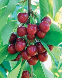 Benton® Sweet Cherry