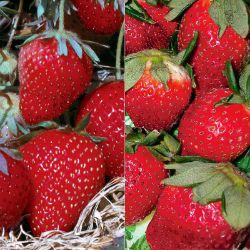 Easy-Care Strawberry Plant Collection