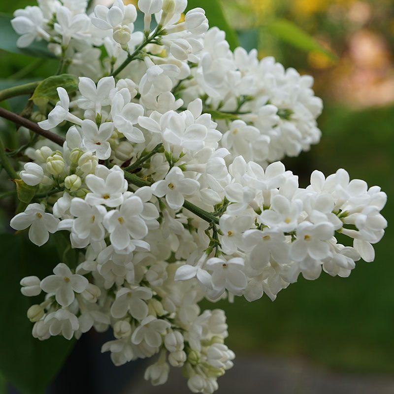 Primrose Lilac Lilacs Stark Bro S