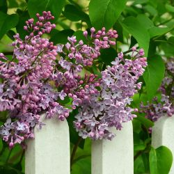 Lilac Bushes From Stark Bro S Lilac Plants For Sale