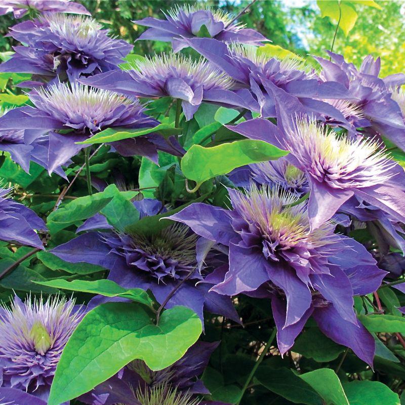 multi blue clematis additional garden plants stark bro 39 s. Black Bedroom Furniture Sets. Home Design Ideas
