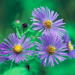 Photo of New England Aster