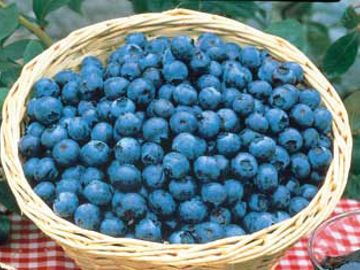 Tifblue Blueberry