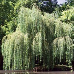Babylonian Weeping Willow