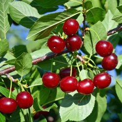 Cherry Trees For Sale Buy Cherry Trees From Stark Bro S