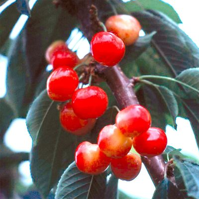 Rainier Sweet Cherry