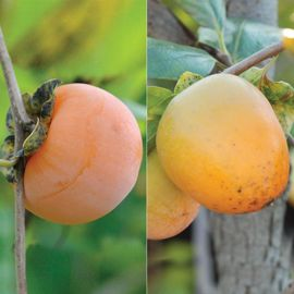 Double Play American Persimmon Tree Collection