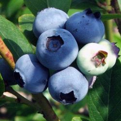 Darrow Blueberry