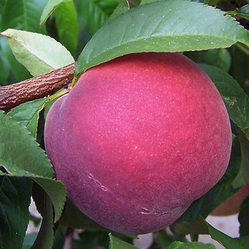 Redstar® Peach - Peach Trees - Stark Bro's