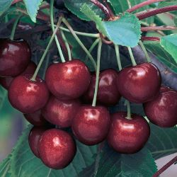 Photo of Ulster Sweet Cherry