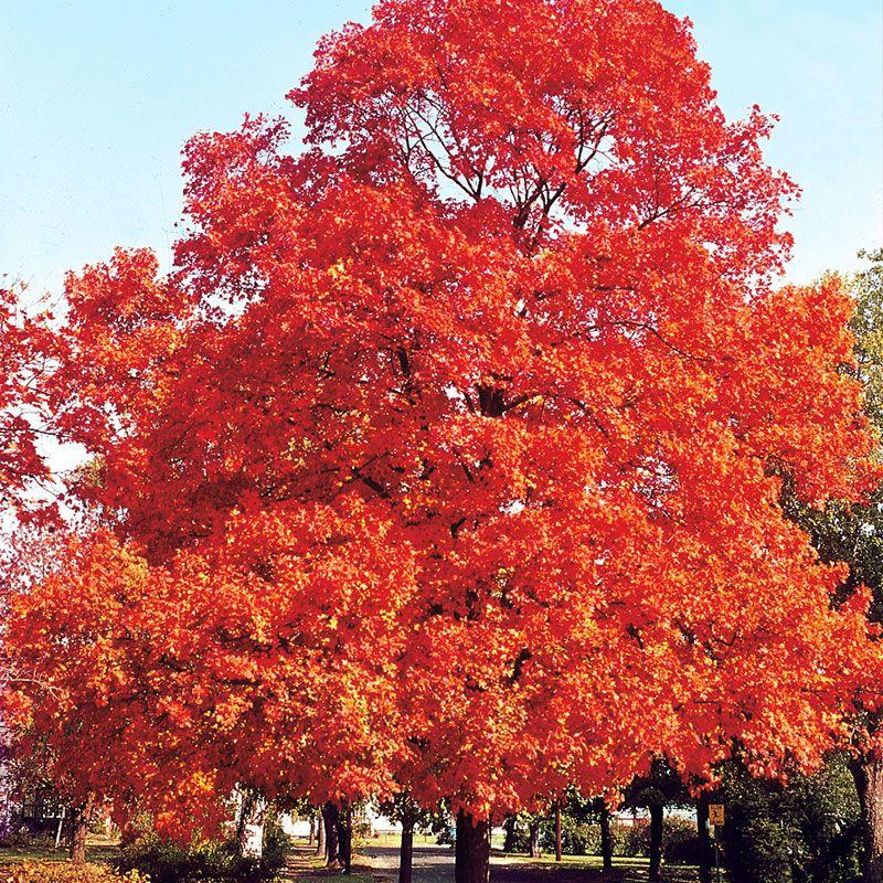 Sugar Maple Shade Trees Stark Bros