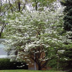 Photo of White Flowering Dogwood