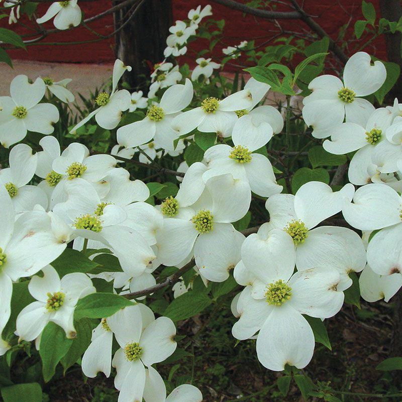 White flowering dogwood flowering trees stark bros white flowering dogwood nextprevious mightylinksfo